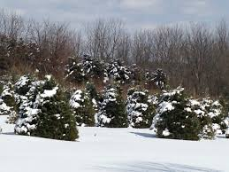 Puleo Christmas Trees by Places To Cut Down Christmas Trees In Nj Home Design Ideas