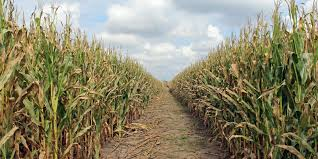 Lodi Pumpkin Patch Wisconsin by Finding Fun At Adventure Corn Maze