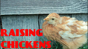 Raising Chickens 101: The Awkward