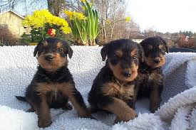 Do Airedale Puppies Shed by The Airedale Terrier King Of Terriers