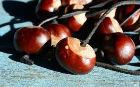 Are Christmas Trees Poisonous To Dogs Uk by Can Conkers And Acorns Make Dogs Ill The Potential Perils Of