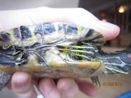 Turtle Shell Not Shedding Properly by Redearslider Com View Topic My Turtle Has Retained Scutes