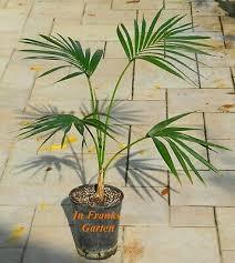 kentia palme howea forsteriana 20 feinste one of the best