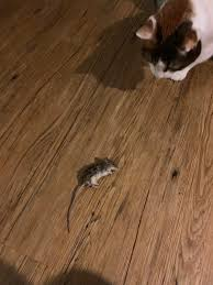 100 Mouse Apartment Large Mouse Or Baby Rat Not Sure What My Girl Got Here But If