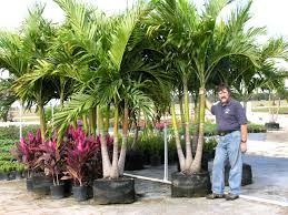 Christmas Tree Species Name by Uf Ifas Okeechobee Extension Service Christmas Palm A K A
