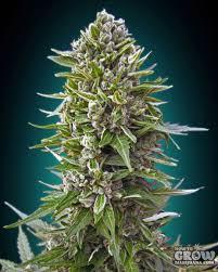 Northern Lights Marijuana Seeds – History Autoflowering & Feminized