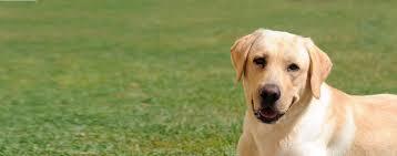 Chesapeake Bay Retriever Shed Hunting by Labrador Retriever Dog Breed Health History Appearance
