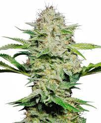 fin de floraison cannabis exterieur des graines de sensi skunk automatic