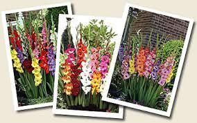nagel s glads gladiolus catalog wholesale flower bulb