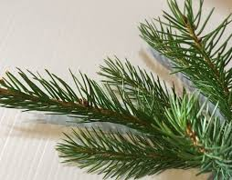 Fraser Fir Christmas Trees Uk by Norway Spruce And Serbian Spruce Christmas Trees Needlefresh Uk