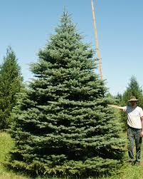 15 Colorado Blue Spruce