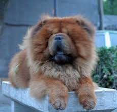 Do Shar Peis Shed A Lot by Best Medium Sized Guard Dog Breeds Pethelpful