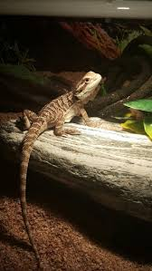 Bearded Dragon Shedding Process by 1962 Best Reptiles Images On Pinterest Animals Reptiles And
