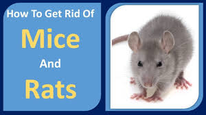 How To Get Rid Of Mice And Rats | Peppermint Oil & Cloves Home ... Details Amazoncom Bonazza Mice Repellent Plugin Ultrasonic Pest The Battle Of And Men Pparedness Pro How To Get Rid Of Permanently Without Professional Help Youtube Control 1 Resource For Horse Farms Stables Riding Rats In Your Barns Stall13com Videos To Naturally Natural Rat Guide 5 Easy Steps Helpful Hints Pinterest Chicken Chick 15 Tips Rodents Around Coops Just One Bite Ii Bars And Killer8lbs8 16 Oz Bars Pet Coats Hairless Rex Harley Uerstanding Fancy Keep Other Out Your Car Engine