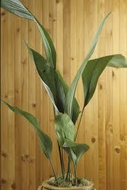 schusterpalme robuste und anspruchslose zimmerpflanze
