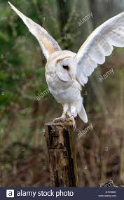 Male Barn Owl Standing On A Post Stock Photo, Royalty Free Image ... Barn Owl Tyto Alba Onyx On The Left Is A British Male Flickr Fimale 3 6942373687jpg Wikimedia Commons Ruffled Feathers November 2014 Mysterious Wise Barn Owl In Shadows Nocturnal Hunter World Bird Sanctuary January 2013 Owls Ghosts And Noises Night The Trust Lone Pine Koala Owlline Owllinelovers Twitter Audubon Field Guide A Brief Introduction To Common Types Of Barney California Raptor Center Connecticuts Beardsley Zoo