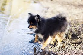 Non Shedding Small Dog Breeds List by The Sweetest And Scariest Small Dog Behaviors U2014which Breed Is