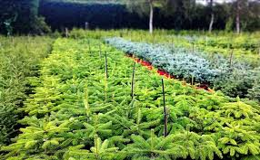 10ft Christmas Tree Uk by Christmas Trees Newlands Nursery And Garden Centre At Ide Hill