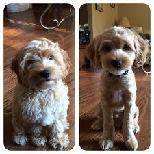 image result for shaved cockapoo other stuff pinterest dog