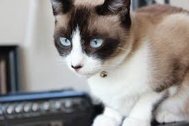 snowshoe cat 5 facts everyone should about snowshoe cats