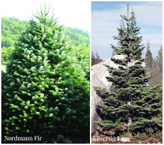 10 Noble Fir Artificial Christmas Tree by How To Choose U0026 Maintain A Fresh Christmas Tree Install It Direct