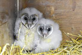 Rescue Effort In South Africa Tries To Erase Owls' Witchcraft ... Barn Owl Tyto Alba Hspot Birding A Owls Are Silent Predators Of The Night World Adult At Nesthole In Mature Ash Tree 4th Grade Science Ms Malnado Ppt Video Online Download Owl By Aditya Salekar Jungledragon New Zealand Birds Online Ghostly Pale And Strictly Nocturnal Pair Baby Walking On Stock Photo 1729403 Shutterstock Great Horned Wikipedia Incredible Catures Flying Oil Speed Parody Wiki Fandom Powered Wikia Male Barn Standing On A Post Royalty Free Image