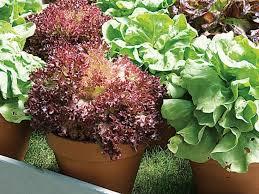 planter la laitue en pot ou jardinière