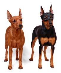 miniature pinscher information facts pictures training and grooming