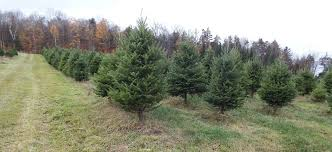 Balsam Christmas Trees by Greens Price List