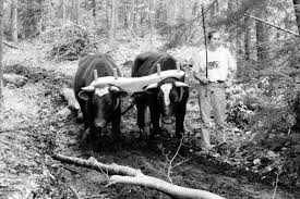Harrows Christmas Trees Nj by Working Steers And Oxen On The Small Farm U2013 Small Farmer U0027s Journal
