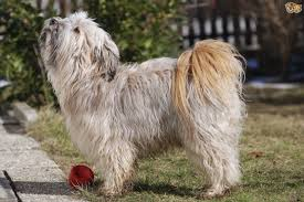 Small Dogs That Dont Shed Uk by 100 Large Dogs That Dont Shed Much 20 Dogs That Don U0027t