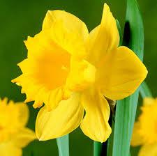 large flowering daffodils master 5kg bulbs or buy in bulk