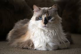 haired cats the calico cat cat breeds encyclopedia