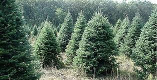 Nordmann Fir Christmas Trees Wholesale by Nordmann Fir Bishop And Mathews Christmas Trees