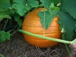 Best Pumpkin Patch Madison Wi by Sarah U0027s Pumpkin Patch Home