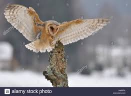 Barn Owl Landing Stock Photo, Royalty Free Image: 133889850 - Alamy Barn Owl Landing Spread Wings On Stock Photo 240014470 Shutterstock Barn Owl Landing On A Post Royalty Free Image Wikipedia A New Kind Of Pest Control The Green Guide Fence Photo Wp11543 Wp11541 Flight Sequence Getty Images Imageoftheday By Subject Photographs Owls Kaln European Eagle Coming Into Land Pinterest Pictures And Bird