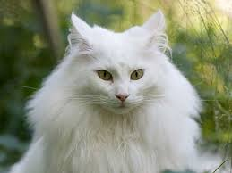 haired cats cutest cat breeds list