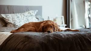 hund im schlafzimmer nachteile vorteile mit einem hund im