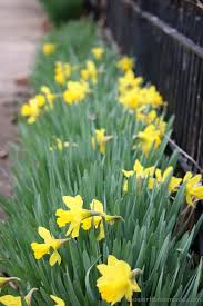 best 25 daffodil bulbs ideas on planting daffodil