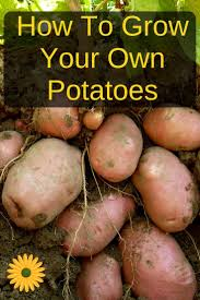 How To Grow Your Own Potatoes | Backyard Texas Garden The Fervent Gardener How Many Potatoes Per Plant Having A Good Harvest Dec 2017 To Grow Your Own Backyard 17 Best Images About Big Green Egg On Pinterest Pork Grilled Red Party Tuned Up Want Organic In Just 35 Vegan Mashed Potatoes Triple Mash Mashed Pumpkin Cinnamon Bacon Sweet Gardening Seminole Pumpkins And Sweet From My Backyard Potato Salad Recipe Taste Of Home