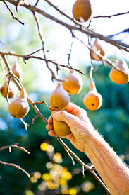 The Best Backyard Fruit Trees For New England - The Boston Globe ... Garden Design Trees For Traing Adds Beauty And Function Inside 90 Best Fruit Images On Pinterest Trees Backyards Best 25 Fast Growing Fruit Ideas Tree Wonderful Large Backyard Plum Tree Pics Orchards Benicia Community Gardens With With Cclusion How To Grow Which Apple For Small Garden 35 Citrus Homegrown Stone Sunset Mobile Enjoy The Full Of Flowers Alamedasan