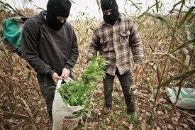 recolte cannabis exterieur date récoltes clandestines mode d emploi simon coutu collaboration