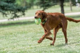 irish setter dog breed information pictures characteristics