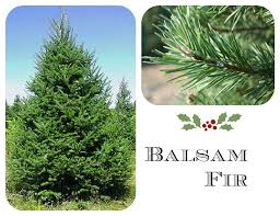 Balsam Christmas Trees by How To Choose The Best Christmas Tree As Mom Sees It