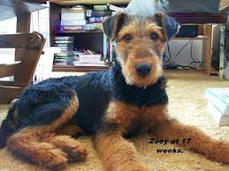 Airedale Terrier Non Shedding by 84 Best Airedale Images On Pinterest Airedale Terrier Welsh