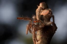 Do Tarantulas Shed Their Fangs by Tarantula Spiderbytes