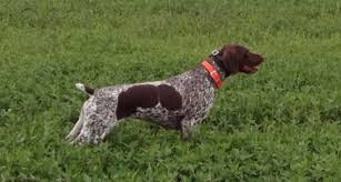 German Shorthaired Pointer Shed Hunter by German Shorthaired Pointer Puppies Holden Kennels
