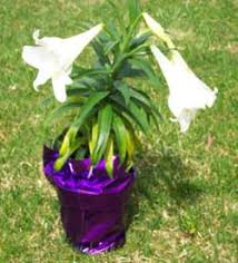 how to grow easter lilies growing and caring for easter lilies