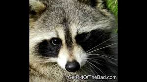 How To Get Rid Of Raccoons Fast! - YouTube Time To Start Culling Torontos Nasty Raccoons Hepburn Toronto Star Raccoon Removal Indianapolis Backyard Raccoons Youtube How To Get Rid Of In Your Bathroom Wall Mirrors Cooldesign A Getting Keep Away From Garden Out Yard The Survive And Thrive 65 Animal Statues Decor Wild And Domestic Identify Of In The 11 Strategies For Doityourself Pest Control Family Hdyman
