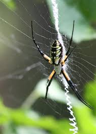 Garden Critters Add Interest To Landscapes | Mississippi State ... R2rustys Chatter September 2017 Ladybugs Backyard And Beyond Birdingand Nature Golden Silk Orb Weaver Spider In Bug Eric Sunday Black Yellow Argiope Glass Beetle By Falk Bauer A Backyard Naturalistinsects Ghost Spiders Family Anyphnidae Spidersrule C2c_wiki_silvgarnspider_hrw8q0m1465244105jpg Aurantia Wikipedia Two Views Sonoran Images Elephant Tiger Skin Spiny Blackandyellow Garden Mdc Discover Power Animal For October Shaman Amy Katz